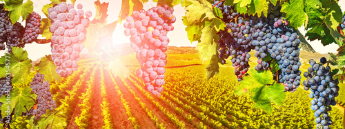 Photo sur Aluminium Vignoble Branch of grapes ready for harvest. Picturesque aerial view of vineyard at sunset in Napa Valley, San Francisco Bay, California. Red grapes hanging in vineyard. Seasonal background.