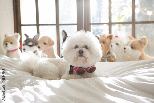 Valokuva Bichon Friseon on the bed