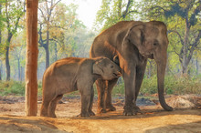 Elephant Breeding Centre In Ch...