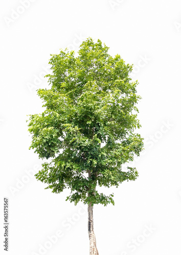 Stampa su Tela Tree isolated on a white background