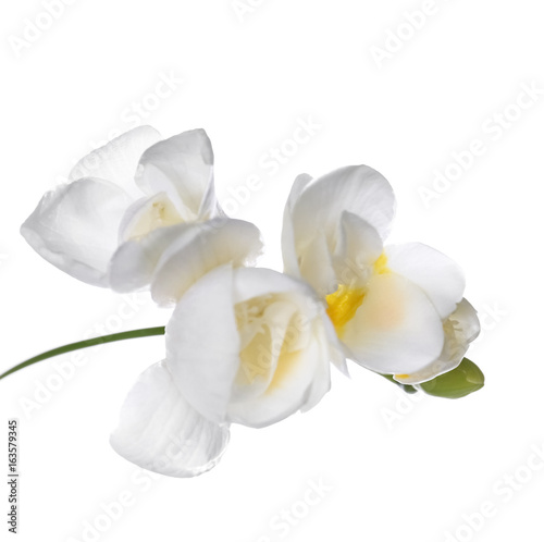 Garden Poster Orchid Beautiful freesia on white background