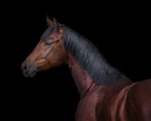 Bay Horse On Black Background Isolated