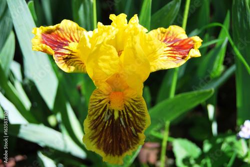 Iris, yellow with tiger pattern miniature in macro