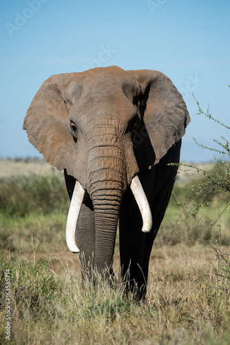 Poster Olifant African elephants