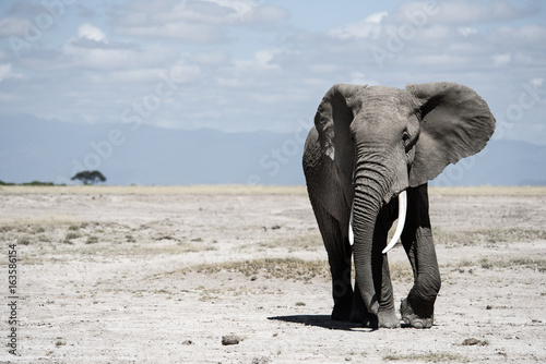 Photo  Elephant walking