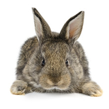 Little Baby Rabbit Isolated On White