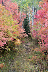 FototapetaFall colors in the forest around the Wasatch Mountains of Utah