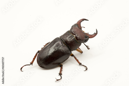 Brown Female Stag beetle Lucanus cervus female isolated on white background, rea Poster