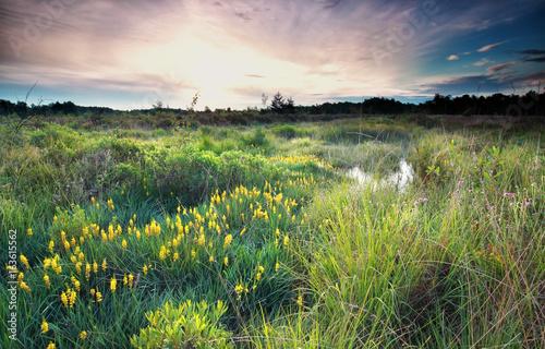 Leinwand Poster sunrise on wild swamp with bog asphodel bloom