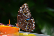 Close Up Of Tropical Butterfly Eating Fruits