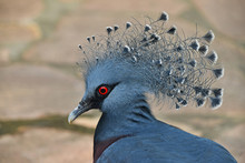 Close Up Side Portrait Of Victoria Crowned Pigeon