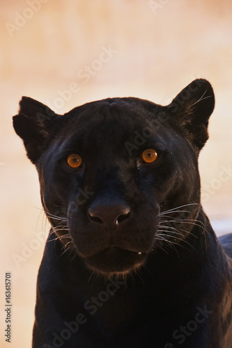 Close up portrait of black jaguar (Panthera onca)
