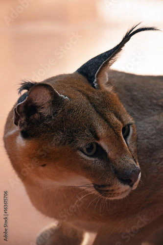 Tuinposter Panter Close up side profile portrait of caracal