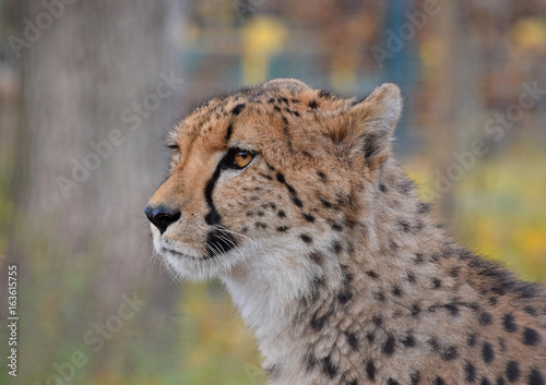 Close up side profile portrait of cheetah