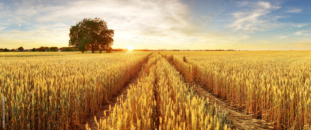 Fototapeta Gold Wheat flied panorama with tree at sunset, rural countryside