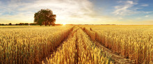 Gold Wheat Flied Panorama With...