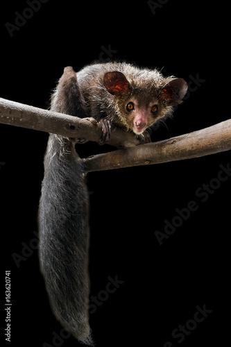 The aye-aye (Daubentonia madagascariensis), a beautiful nocturnal lemur in Madagascar, isolated on a black background Wall mural