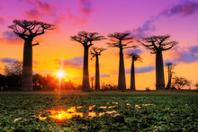 Beautiful Baobab Trees At Suns...