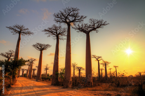 Valokuvatapetti Beautiful Baobab trees at sunset at the avenue of the baobabs in Madagascar