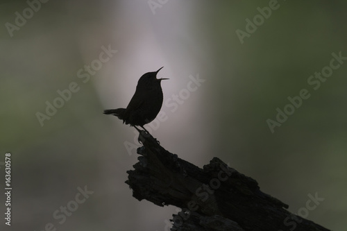囀るミソサザイ(winter wren) Fototapet