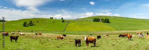 Foto Panoramic view of tranquil Scottish Countryside with gentle rolling hills, cows and lush pasture