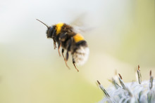 Shaggy Bumblebee In Flight, Takes Off From A Flower Collecting Honey,background
