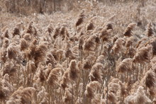 Blowing In The Wind, Phragmite...