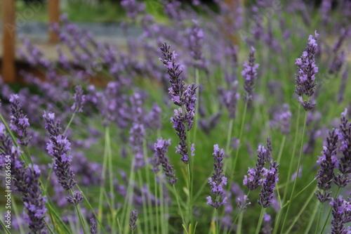Fotobehang Lavendel Lavande - Lavandula (bleu, mauve, violet), Harnes, Lens, Pas-de-Calais, Nord-Pas-de-Calais, Hauts-de-France, France