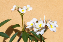 White Ficus Flowers Near Yello...