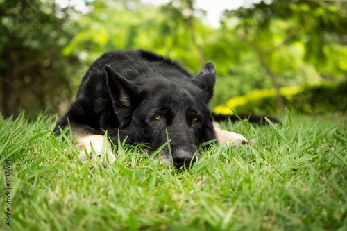 German Shepherd Jessie фототапет