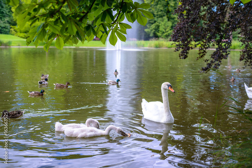 Flock of white mute swans and ducks