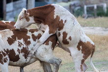 Cow And Bull Is Mating