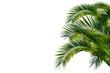 canvas print picture - Palmenblätter, palme freigestellt vor weißem hintergrund