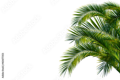 Palmenblätter, palme freigestellt vor weißem hintergrund