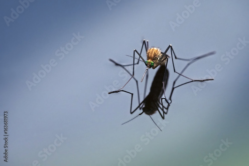 Northern house mosquito (Culex pipiens) with reflection on the blue water surface, macro shot with generous copy space
