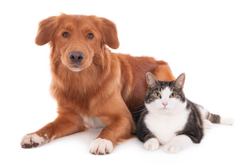 Nova Scotia duck tolling retriever dog and a cat lying together. Isolated on ...