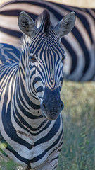 Fototapeta na wymiar Zebra Headshot