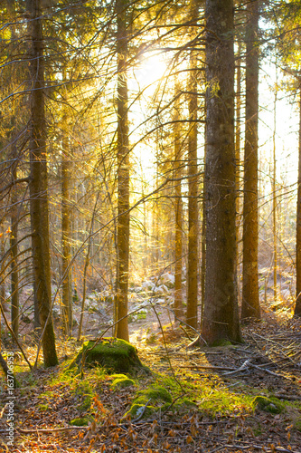 Aluminium Prints Autumn Asiago - Spring forest of fir trees