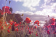red poppies in the countryside, vintage style photo