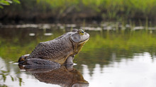 North American Bull Frog