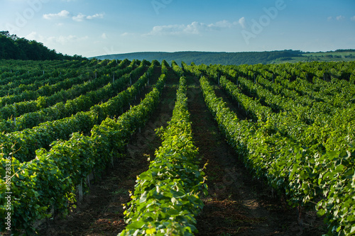 Papiers peints Vignoble Rows of Vineyard Grape Vines. Summer landscape with green vineyards. Grape vineyards in Moldova.