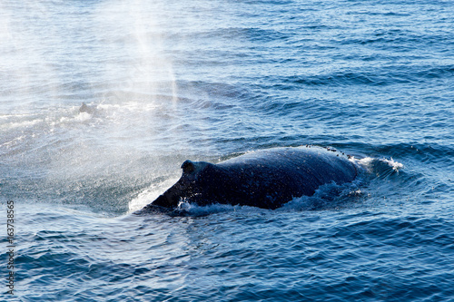 Fotografia, Obraz  Humpback Whale surfacing and spraying water through blowhole