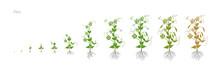 Pea Pisum Sativum Cultivation Agriculture Growth Stages Vector Illustration