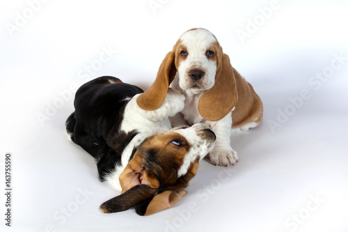 Two Basset Hound Puppies Playing On White Background Buy