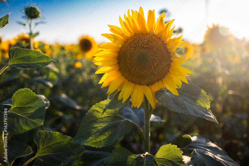 Big sunflower on natural background. Field of sunflowers, summer time