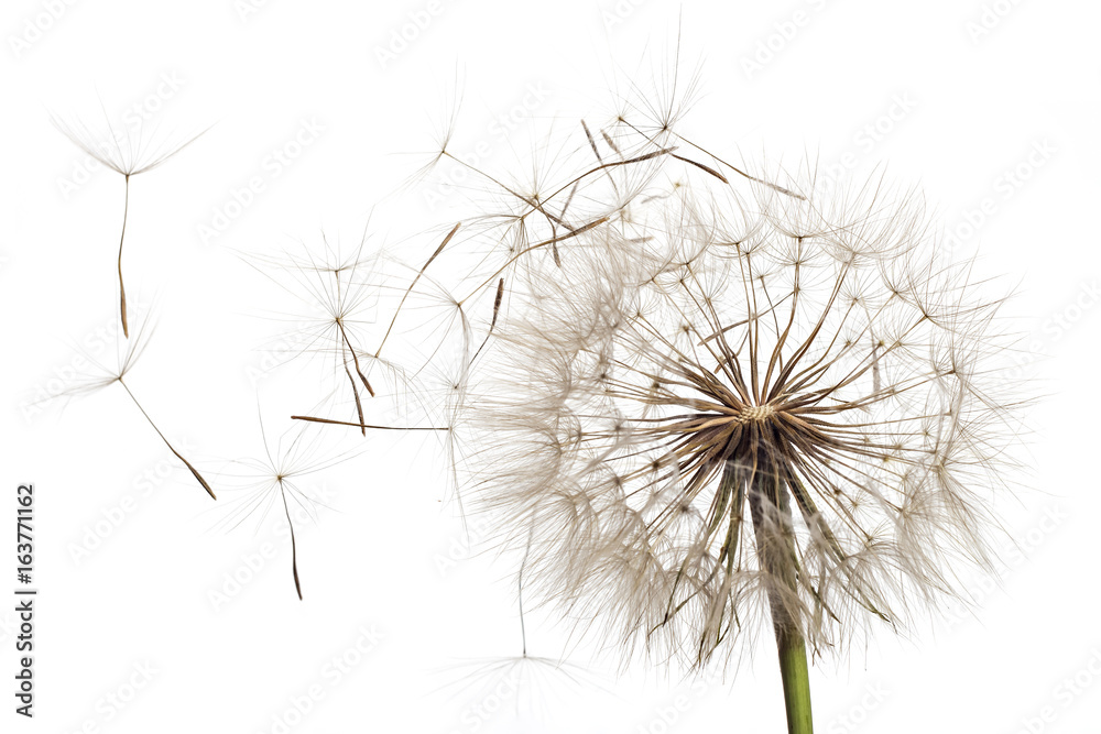 Fototapety, obrazy: White fluffy flower Tragopogon dubius, yellow salsify, wild oysterplant, goat`s beard, and seeds on white background. Big dandelion