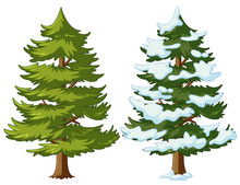 Pine Tree With And Without Snow