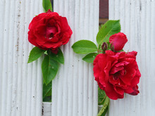 Beautiful Red Roses That Tend ...
