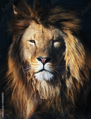 Staande foto Leeuw Lion great king at the dark background front view