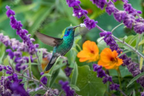 Fotografie, Obraz  Hummingbird(Trochilidae)